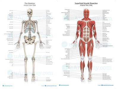 The anatomy of love helen fisher