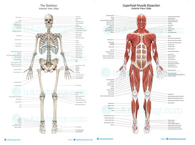 Human Muscle and skeletal Anatomy Posters Double Pack