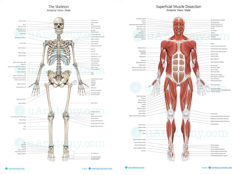 human skeleton anatomy chart | human anatomy poster - skeleton, Skeleton