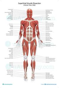 Human Musculature Anatomy Chart