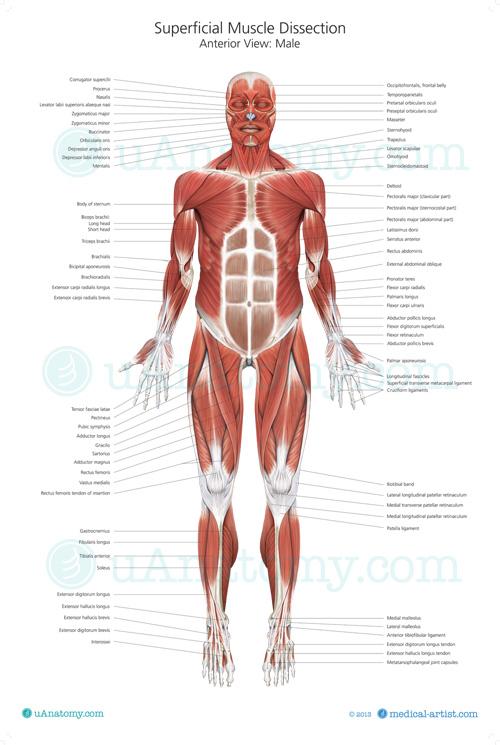 human muscle anatomy chart | human muscle anatomy poster | musculature, Muscles