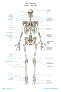 Skeleton-Poster-With-Labels-200x298