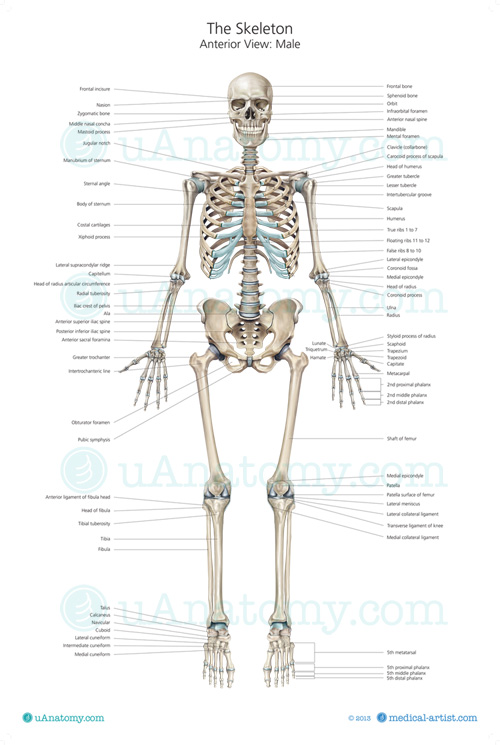 Human Skeleton Anatomy Chart Human Anatomy Poster Skeleton